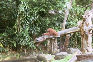 Free-ranging orangutans
