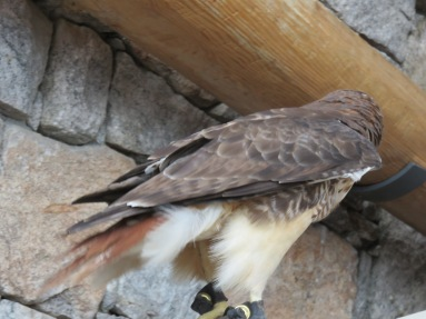 "I tried to get a picture of the red tail. The ranger spun him around kind of fast as she said he's a ""projectile pooper""."