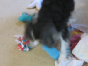 Buddy tearing through his gift. He'd just as soon eat the tissue paper.